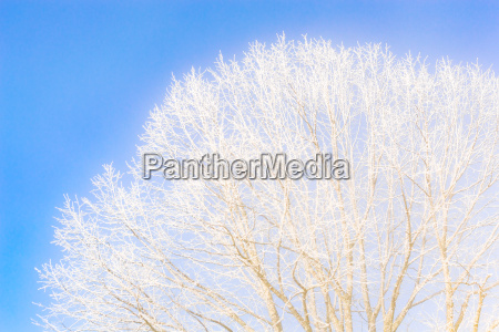 frozen tree branches against the clear