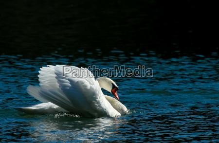 mute swan sunbathing