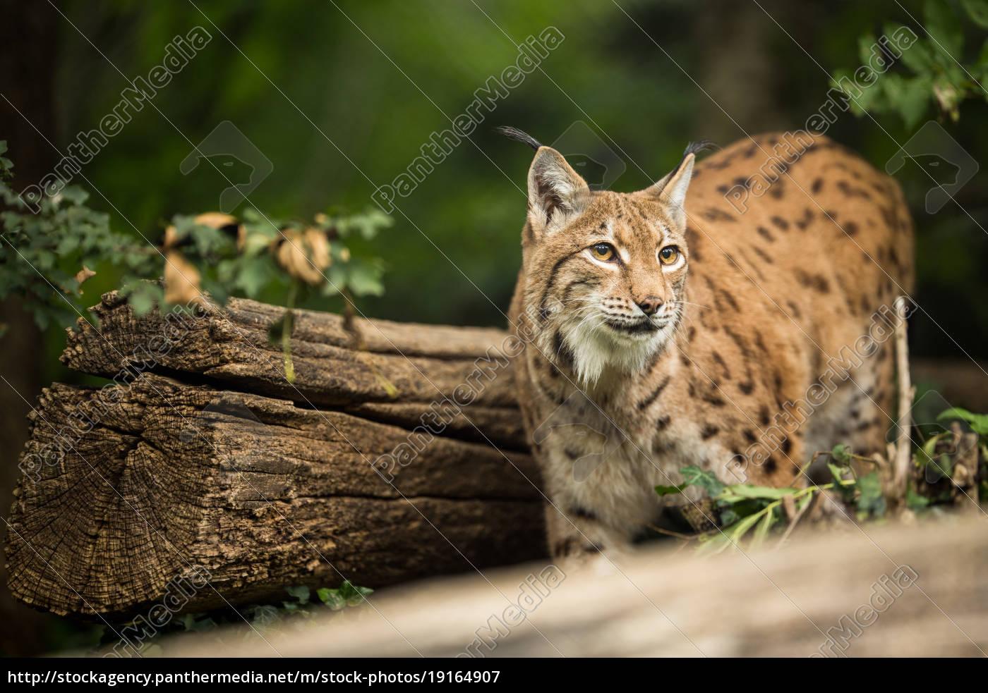 eurasian, lynx, (lynx, lynx) - 19164907