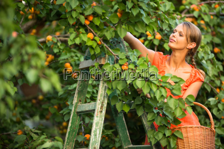 pretty, , young, woman, picking, apricots, lit - 19165009