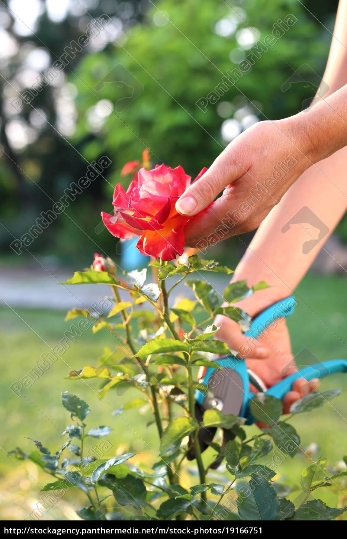 pruning, shrub, roses. - 19166751