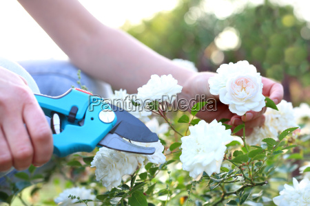 pruning, shrub, roses. - 19166755