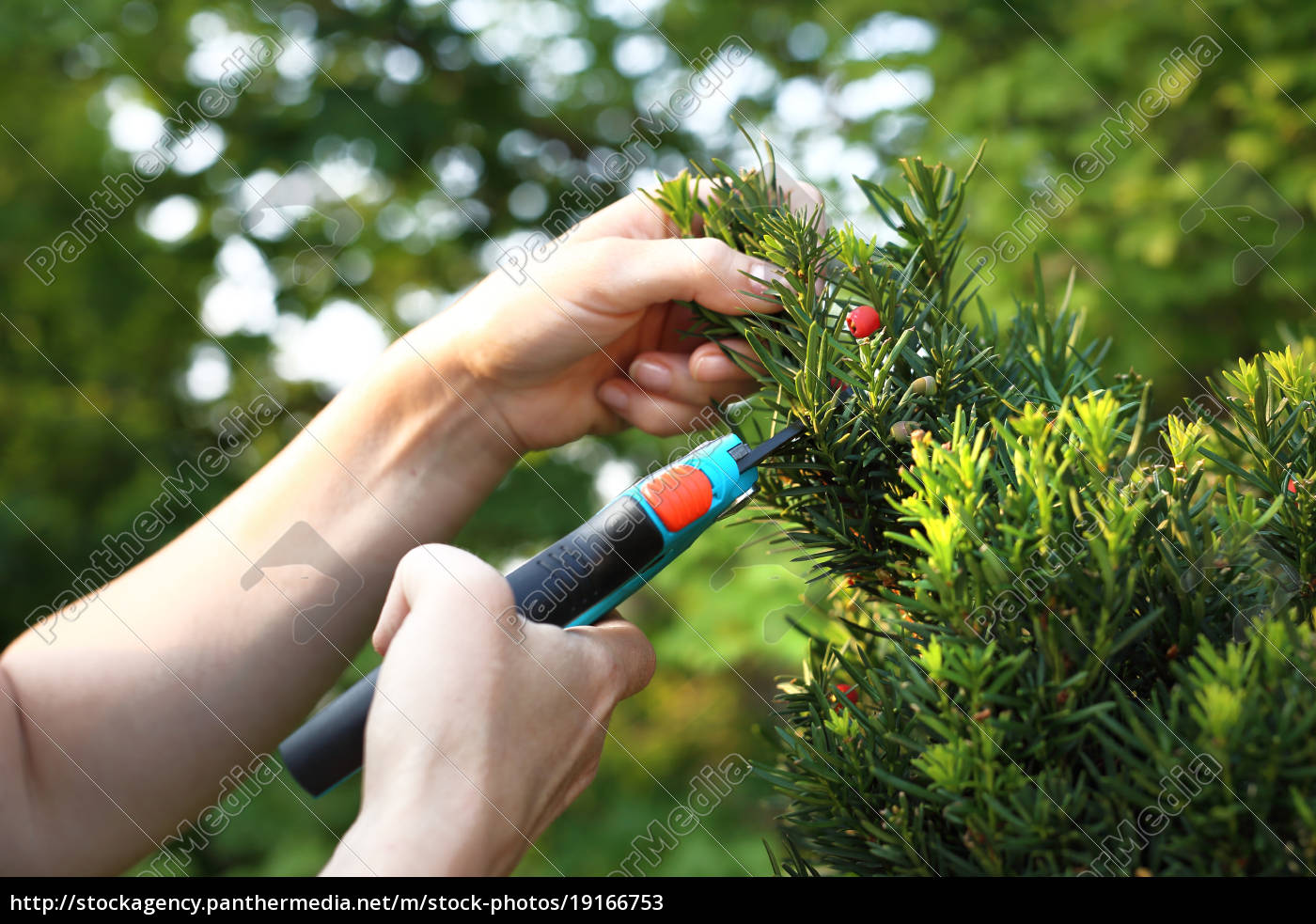 yew, green, coniferous, shrub. - 19166753