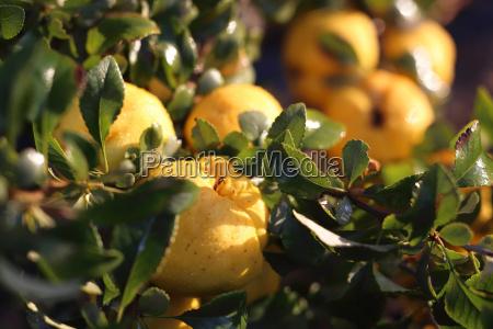 fruiting quince bush