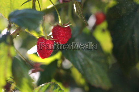 raspberries shrubs of raspberries