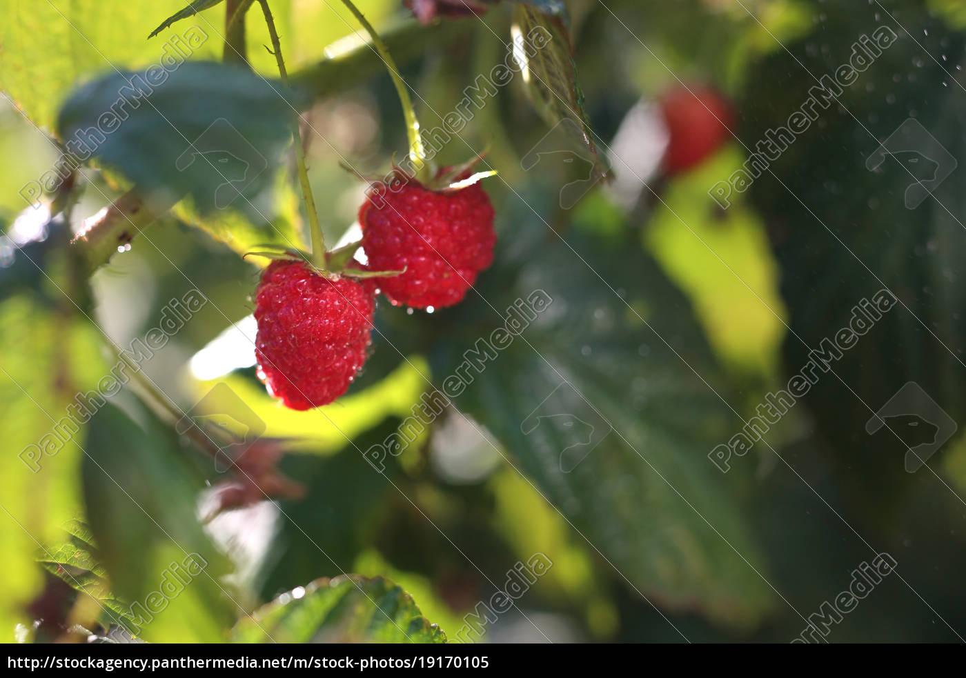 raspberries., shrubs, of, raspberries. - 19170105