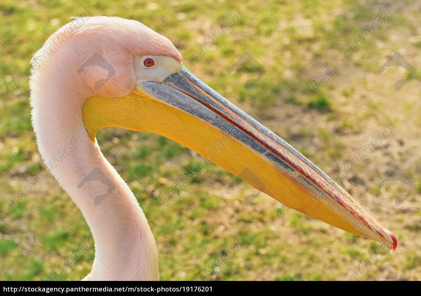 portrait, of, big, rosy, pelican - 19176201