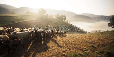 heard of sheep in foggy morning