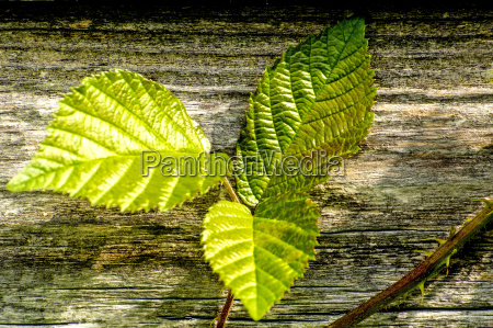 blackberry leaves on old plank wall