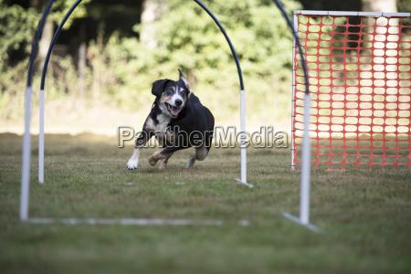dog appenzeller mountain dog trainin hoopers