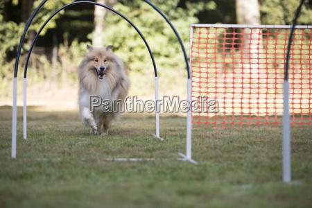 dog scottish sheepdog training hoopers