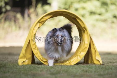 dog shetland sheepdog sheltie running in