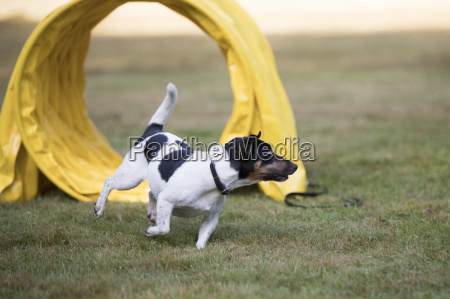 dog jack russell terrier agility training