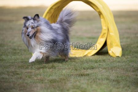 dog shetland sheepdog sheltie agility