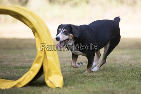 dog appenzeller sennenhund training agility