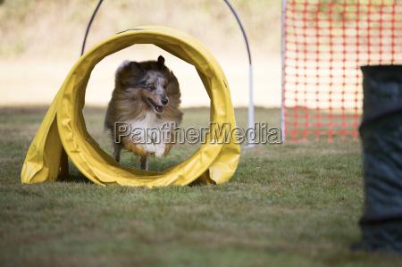 dog shetland sheepdog hooper training