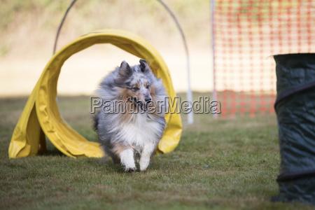 dog shetland sheepdog training agility
