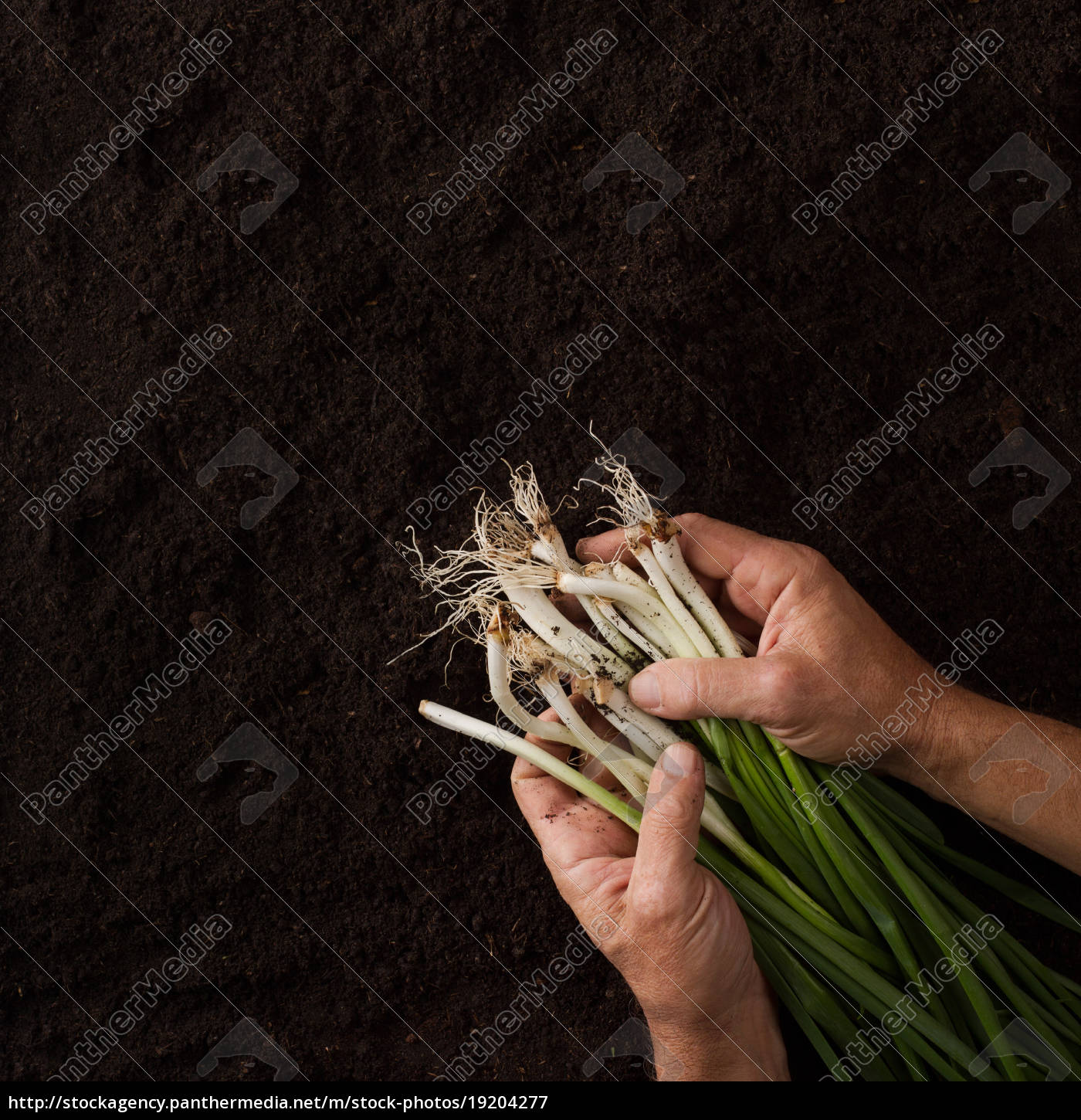 hands, holding, onion, with, green, leaves - 19204277