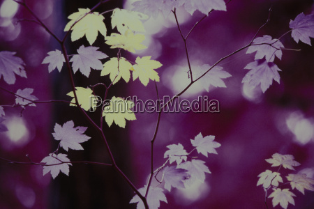 autumn leaves on branches infrared shot