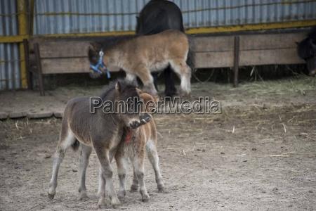 miniature horse in the farm