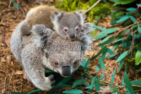 australian koala bear native animal with