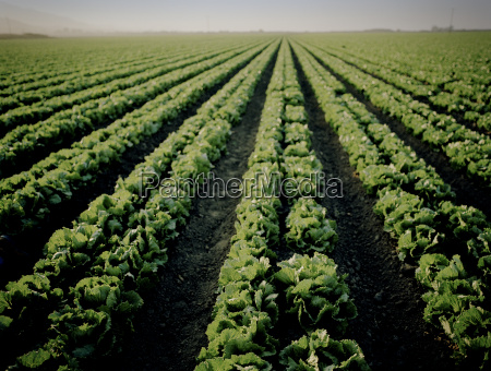 rows of vegetables in a field