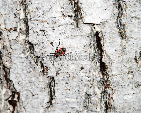 whitewashed tree bark texture with cardinal
