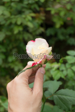 hand on pink rose in the
