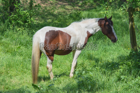 brown, white, horse, in, a, pasture - 19303329