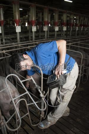 salamanca spain pig farmer checking pregnancy