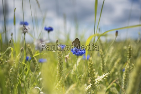 corn flower in wheat field