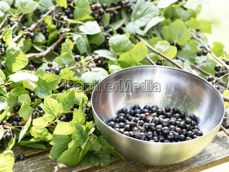 blackcurrant ribes nigrum berries on branches
