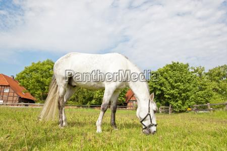 white horse grasing