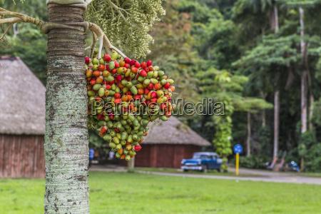 cuba valle de vinales date palm