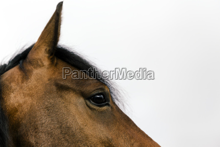 head and eye of a brown