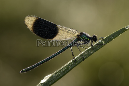male banded demoiselle on blade of