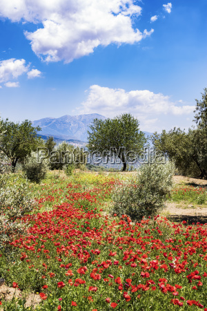 spain andalusia olive grove trees poppies