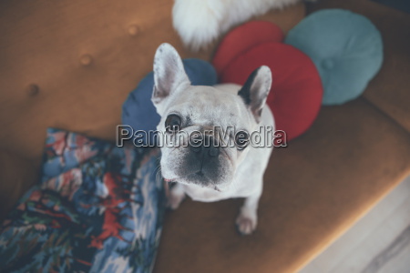 portrait of french bulldog sitting on