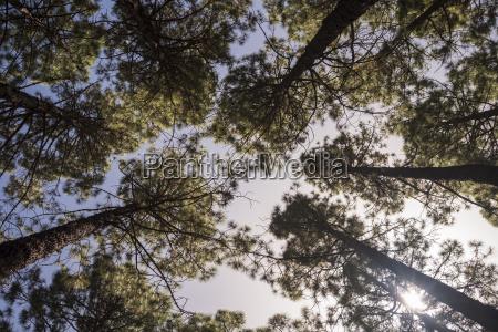 spain tenerife teide national park coniferous