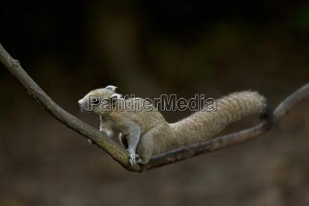 thailand grey bellied squirrel on twig