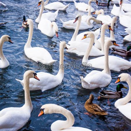 white swans swans on a lake