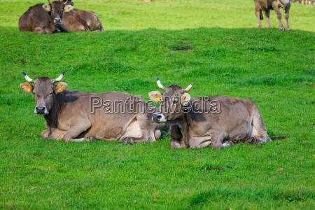 cows in a grassy field herd