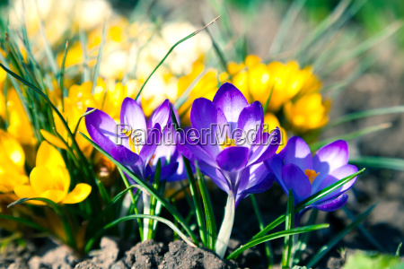 crocuses flowers in the spring
