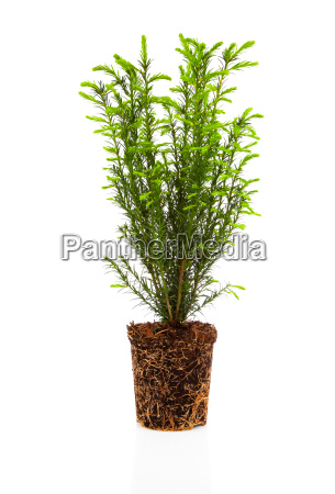 cypress thuja with roots