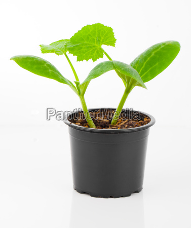 zucchini seedlings plant in a pot