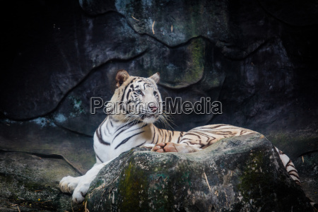 white tiger tiger on a rock