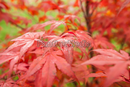 japanese subjects maple acer palmatum