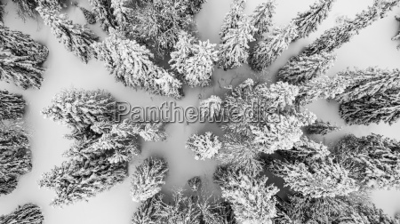 aerial view of snow covered pine