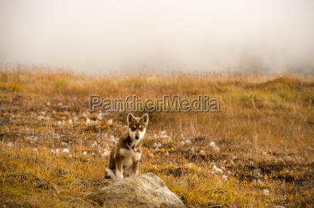 husky puppies greenland hill