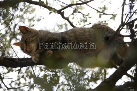 wildcat felis silvestris in monfraguee national
